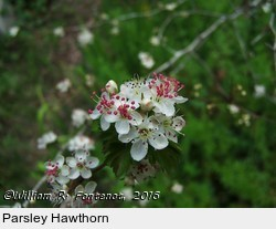 PARSLEY HAWTHORN FONTENOT